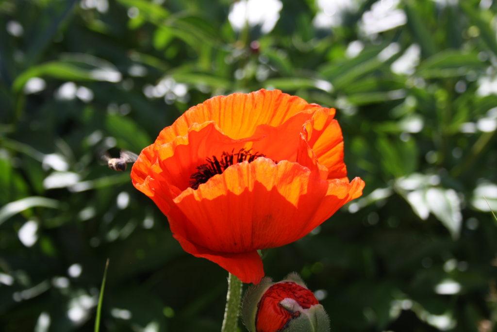 na zielonym tle z liści, duży ogrodowy mak  prześwietlony słońcem