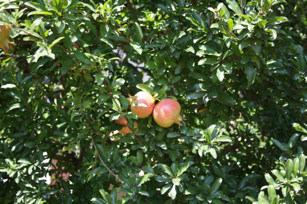 na drzewie, owoce granatu dojrzewające w słońcu