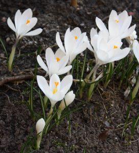 Opis zdjęcia: białe rozwinięte krokusy, wyrastające z czarnej ziemi.