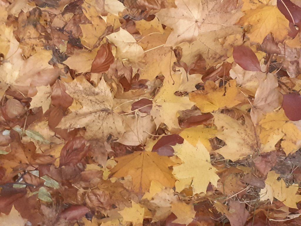 klonowe liście w jesiennych barwach