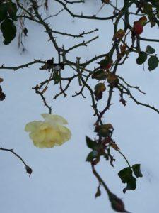 Na śnieżnym tle, krzak róży z widocznymi kolcami oraz zwisająca ostatnia biała róża.