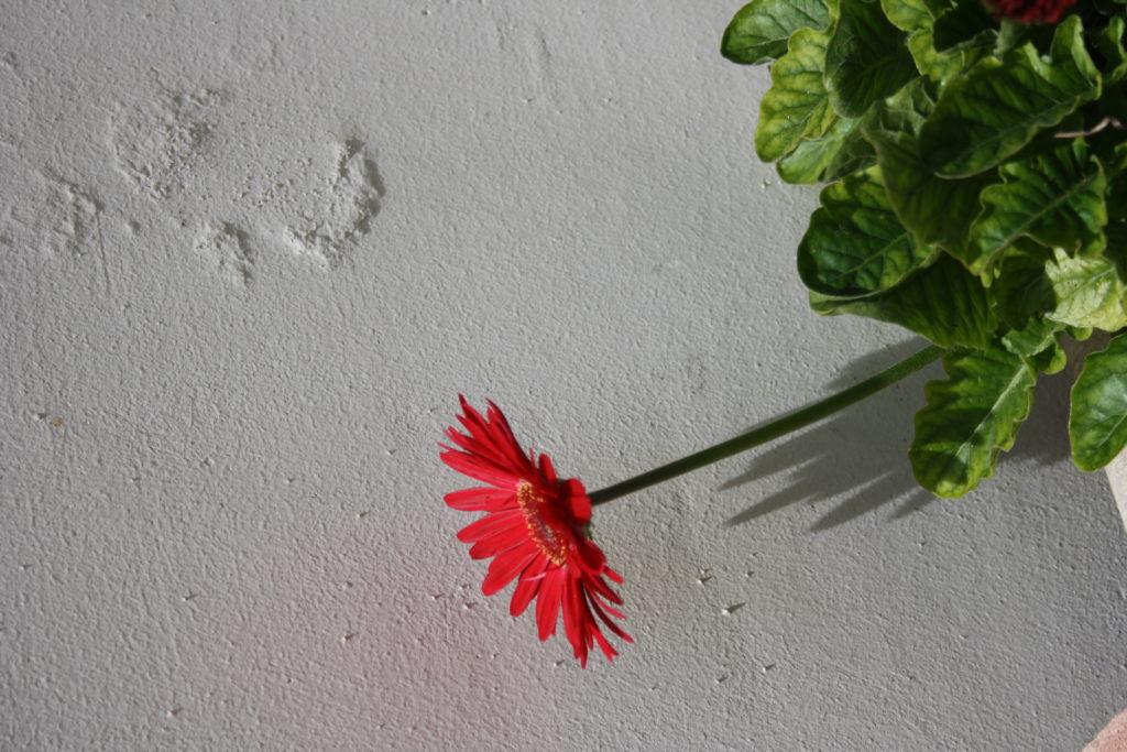 Na białej zewnętrznej ścianie rozświetlonej słońcem, czerwony gerber z zielonymi listkami.