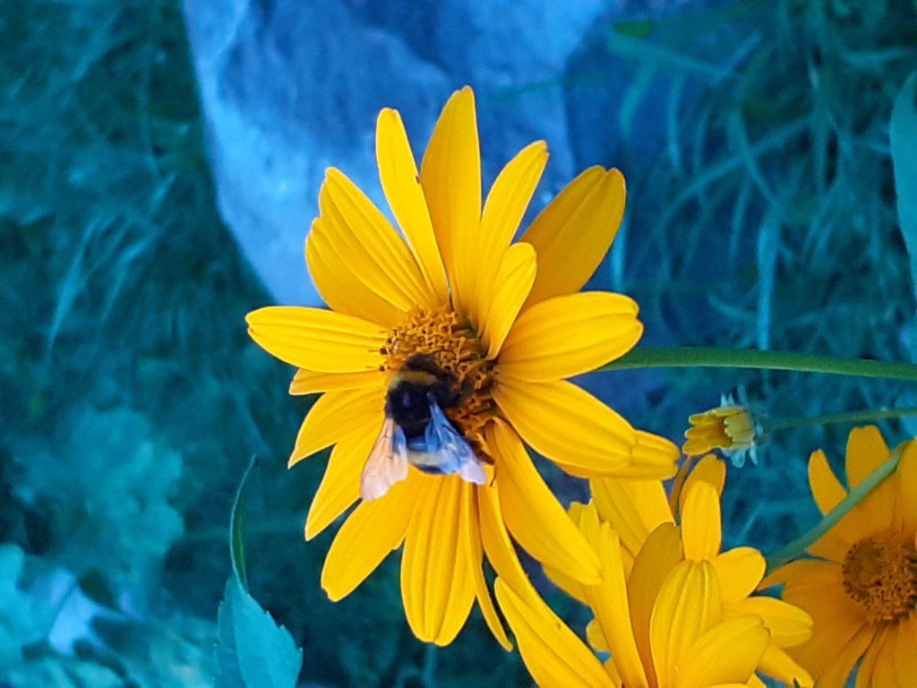 żółty kwiat, na którego środku siedzi bąk