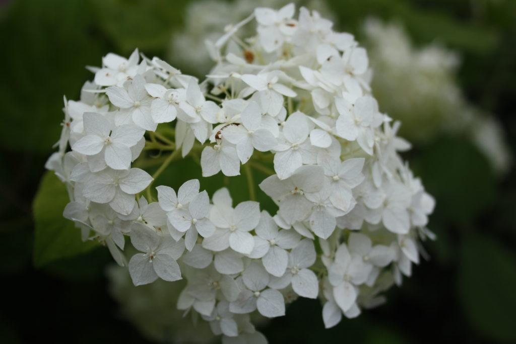 hortensja bukietowa, biały gęsty kwiat zebrany w baldachogrona - w przybliżeniu